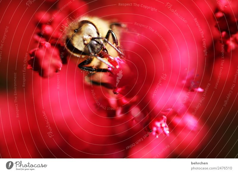 herausschauen Natur Pflanze Tier Sommer Blume Blüte Prachtspiere Wildtier Biene Tiergesicht 1 fliegen Fressen schön rot Nektar Pollen Honig fleißig Blühend Duft