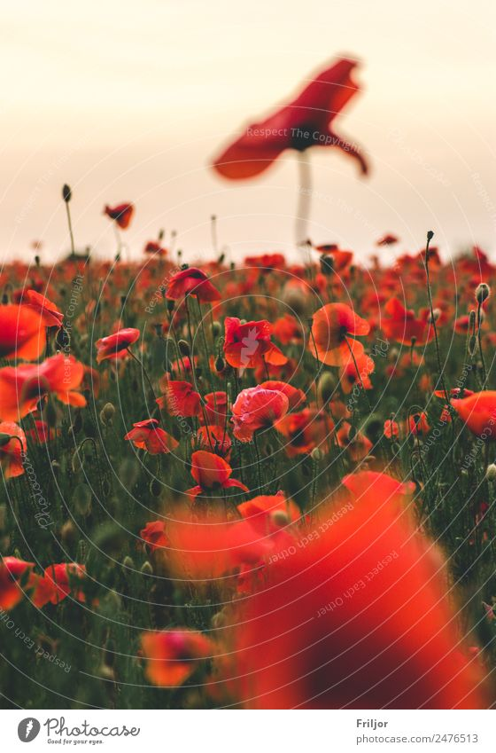 Mohnfeld III Himmel Natur Sommer Pflanze schön grün Landschaft Blume rot Wolken Blatt Blüte natürlich Wiese wild Horizont