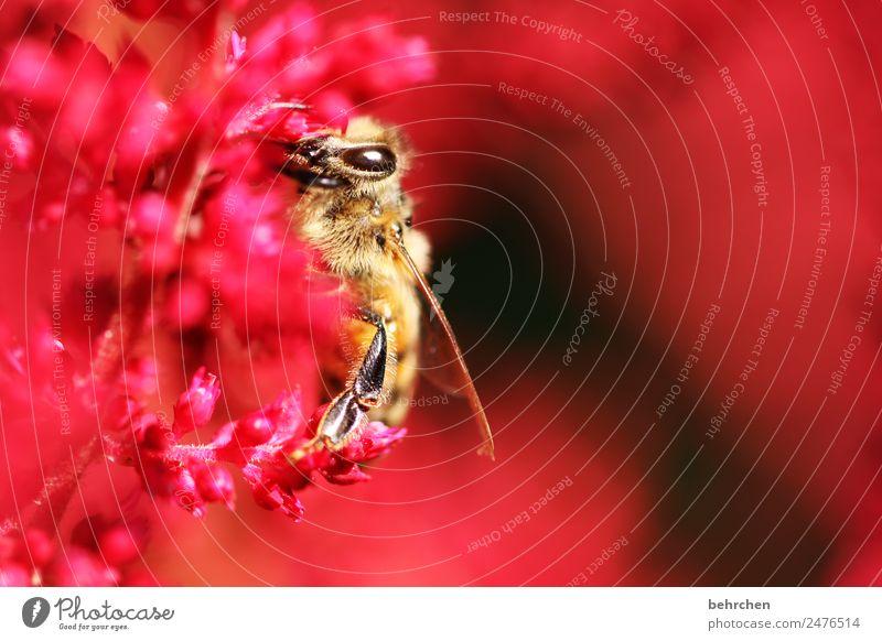 lebensart | nur vom feinsten naschen Natur Pflanze Tier Sommer Blume Blüte Wildtier Biene Tiergesicht Flügel 1 Blühend Duft fliegen Fressen schön rot Nektar