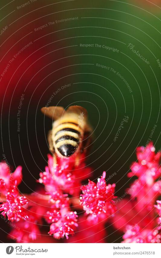 popo Natur Sommer Pflanze schön Blume Tier Wiese Garten fliegen Wildtier Flügel Biene Fressen Pollen Honig fleißig