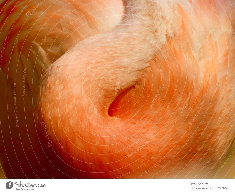 Flamingo Natur Tier Wildtier Vogel 1 schön weich Hals Feder elegant Farbfoto Außenaufnahme Nahaufnahme Licht Schatten