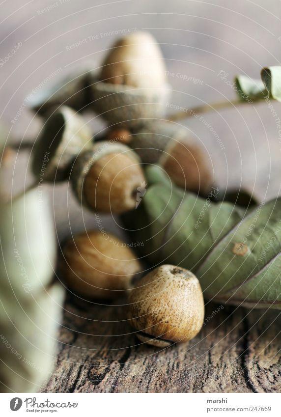 Eichenfrucht Natur Pflanze Herbst Baum braun grün Eicheln vertrocknet holzig Blatt getrocknet Frucht Fruchtstand eichenfrucht Buchengewächs Farbfoto