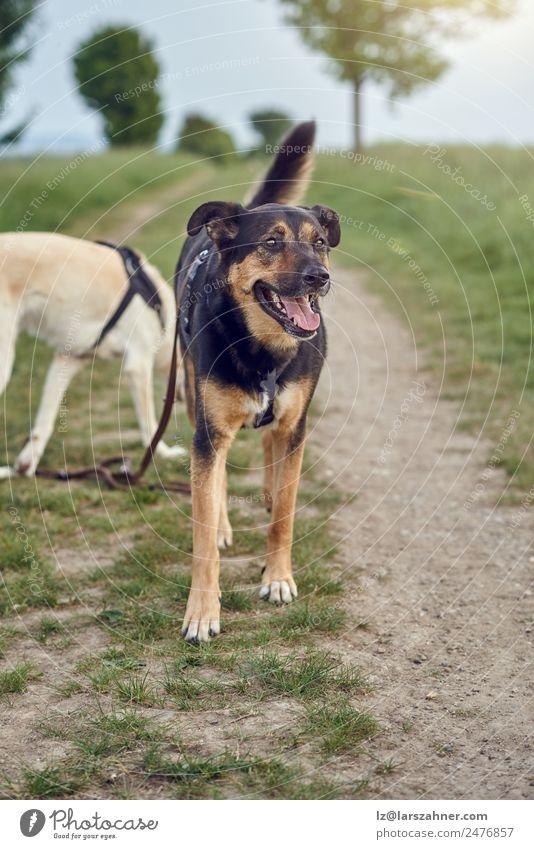 Fröhlicher schwarzer und brauner Hund stehend keuchend Glück schön Sommer Freundschaft Natur Tier Herbst Gras Park Haustier sitzen springen niedlich grün
