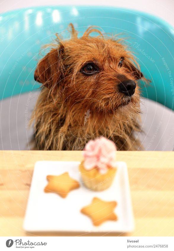 Hund & Muffin Frühstück Tisch Tier Haustier 1 Dose Diät Stern Café Sitz kleiner Hund Tierwelt natura blauer Sitz Pub Bar Köter Rennen züchten brauner Hund