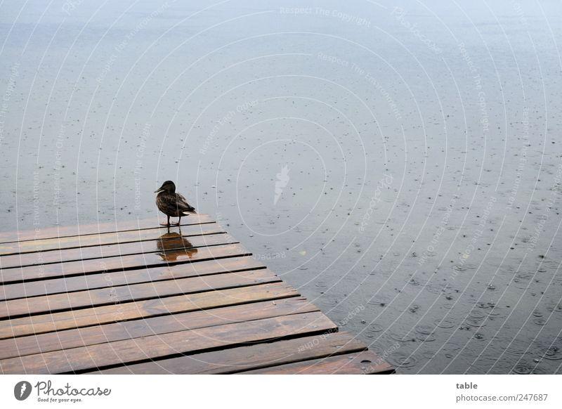 Sommer 2011 Natur Tier Urelemente Wasser Wassertropfen schlechtes Wetter Unwetter Regen Seeufer Steg Wildtier Vogel Ente Holz beobachten stehen Traurigkeit