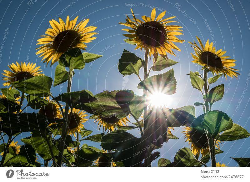 Let the sunshine... Umwelt Natur Pflanze Sommer Schönes Wetter Blume Blatt Blüte Nutzpflanze Garten Feld gigantisch groß Wärme gelb Sonnenblume Sonnenblumenfeld