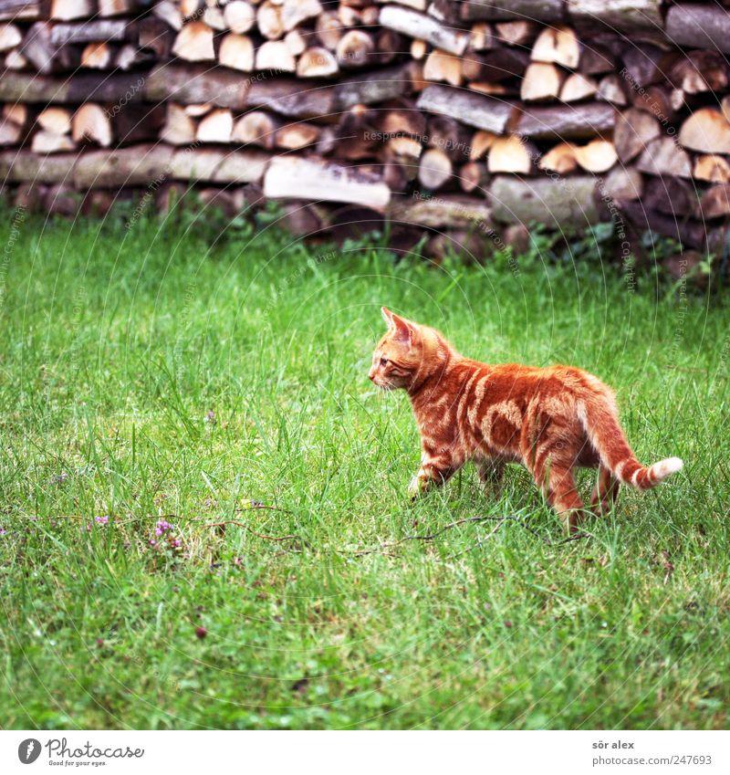 ...aaa wer ist dies? Garten Wiese Tier Haustier Katze Tiergesicht Fell Katzenbaby 1 frech klein Neugier niedlich schön grün Brennholz Holz gestreift orange