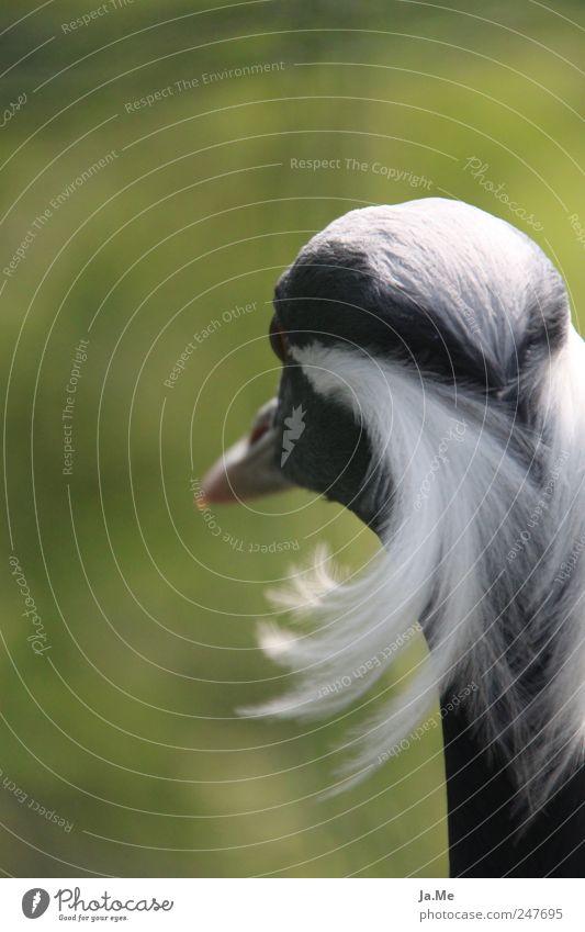 ...ich hab die Haare schön! Natur Tier Wildtier Vogel Tiergesicht Kranich Schreitvögel jungfernkranich Feder 1 grün eitel Vogelkopf Vor hellem Hintergrund
