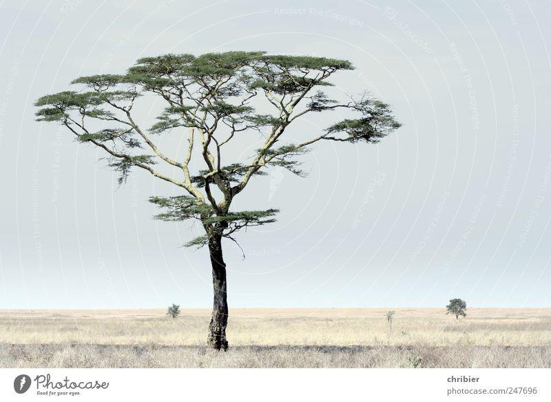 Letzter Schatten vor dem Nichts Ferien & Urlaub & Reisen Safari Umwelt Natur Landschaft Pflanze Himmel Wolkenloser Himmel Schönes Wetter Baum Schirmakazie