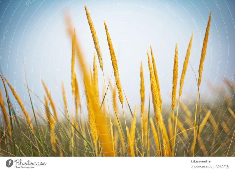 Dünengras Himmel Natur grün blau Pflanze Sommer ruhig gelb Erholung Wiese Gras Erde Feld Zufriedenheit gold Sträucher