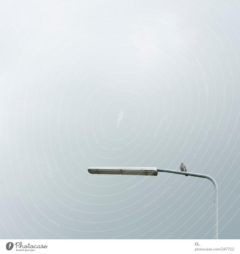 taube Tier Vogel Taube 1 beobachten sitzen einfach frei kalt ruhig Langeweile Einsamkeit Straßenbeleuchtung Lampe Licht Himmel Wolken grau Farbfoto