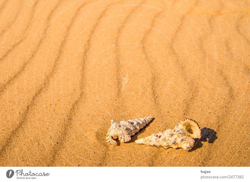 Meeresschnecken am Strand Freude Erholung Ferien & Urlaub & Reisen Sommer Natur gelb Wasserschnecken Gehäuse Sandstrand Karibisches Meer Linie leer Textfreiraum