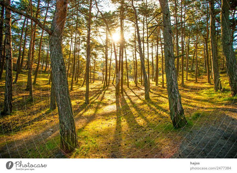 Wald im Gegenlicht im Frühjahr Natur Moos hell gelb gold grün Licht Sonnenstrahlen morgends sanft weich Kiefer Grünpflanze Moor Erholungsgebiet Luft Einsamkeit