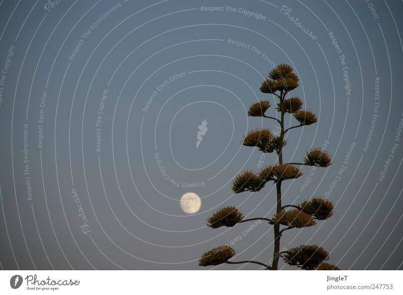 [high moon] Himmel Natur blau Pflanze Sommer Erholung grau Umwelt Zufriedenheit rosa natürlich Mond Geborgenheit Schönes Wetter Grünpflanze Wolkenloser Himmel