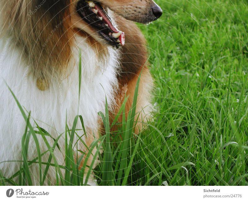 Spike Natur grün Hund Feld warten frei Perspektive Fell Richtung Haustier Zunge Collie