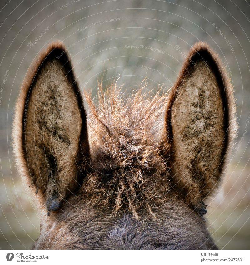 Lauschangriff! (Nr.95) Tier natürlich braun stehen niedlich beobachten Freundlichkeit Neugier Pferd Vertrauen hören Fell langhaarig brünett kuschlig Sympathie