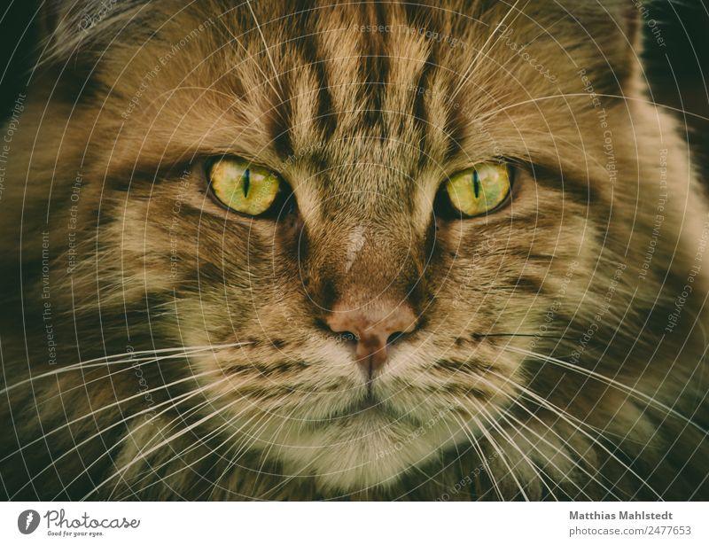 Marley Tier Haustier Katze Tiergesicht Main Coon 1 beobachten Blick ästhetisch außergewöhnlich exotisch schön kuschlig wild weich braun Coolness Stolz Farbfoto