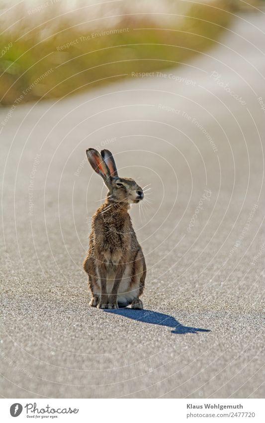 Fotoshooting mit Meister Lampe Umwelt Natur Tier Sommer Schönes Wetter Gras Straße Fell Pfote Hase & Kaninchen 1 beobachten hören sitzen warten braun grau grün