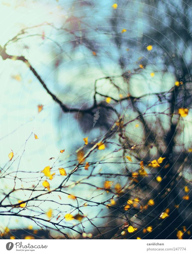 Herbstlinien Natur blau Blatt gelb Herbst Herbstlaub Birke herbstlich