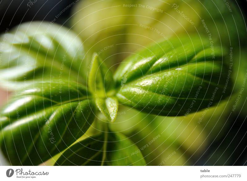 Königskraut Lebensmittel Gemüse Kräuter & Gewürze Basilikum Bioprodukte Duft Pflanze Blatt Grünpflanze Nutzpflanze exotisch glänzend Wachstum ästhetisch