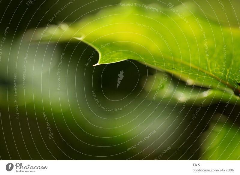 Blatt Natur Sommer Pflanze grün ruhig Frühling natürlich Bewegung elegant frisch ästhetisch authentisch Blühend einzigartig Spitze