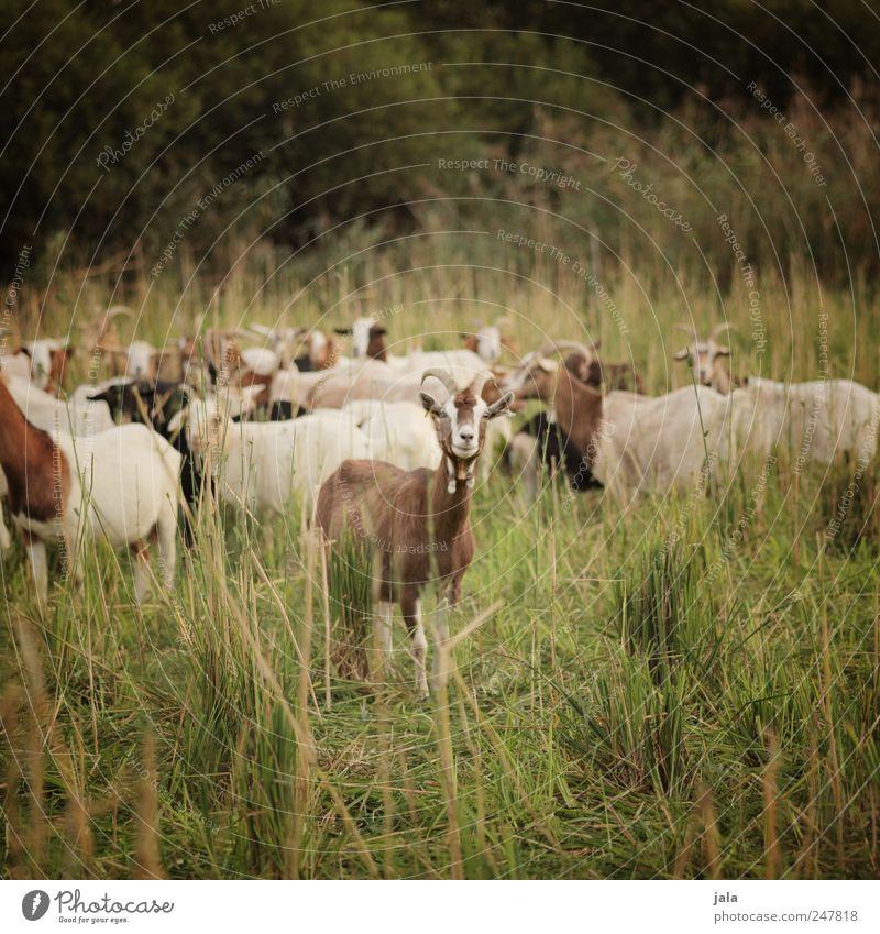 ziegenwiese Natur grün Pflanze Tier Wiese Landschaft Umwelt Gras braun natürlich Sträucher Herde Nutztier Ziegen