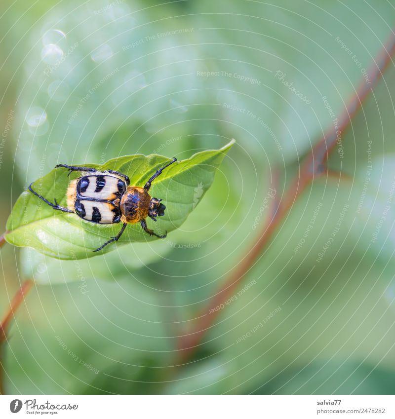 Pinselkäfer Natur Pflanze Tier Sträucher Blatt Käfer Insekt 1 krabbeln grün Farbfoto Nahaufnahme Strukturen & Formen Textfreiraum rechts Textfreiraum unten Tag