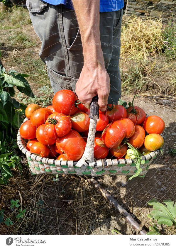 Tomatenernte im Obstgarten Gemüse Frucht Vegetarische Ernährung Sommer Sonne Mensch maskulin Hand 1 Pflanze Blatt Dorf füttern natürlich grün rot