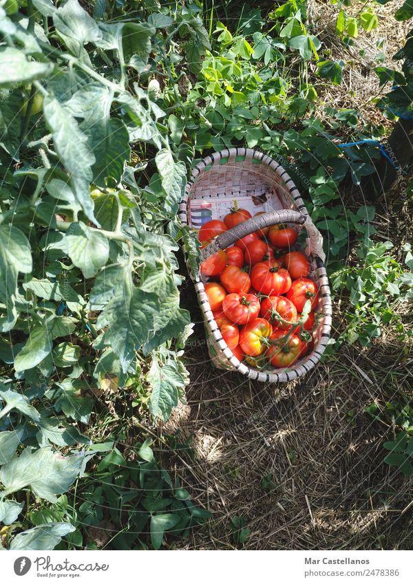 Tomatenernte im Obstgarten Gemüse Frucht Ernährung Vegetarische Ernährung Sommer Sonne Pflanze Blatt Nutzpflanze Dorf Diät füttern verkaufen natürlich grün rot