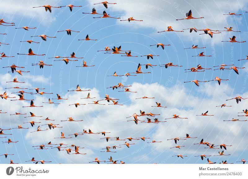 Rosa Flamingos fliegen durch den Himmel von Guajira Kolumbien. elegant exotisch schön harmonisch Ferien & Urlaub & Reisen Tourismus Ausflug Abenteuer Sommer