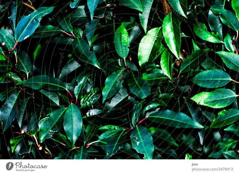 Wildwuchs Pflanze grün Blatt dunkel rosa glänzend Wachstum Grünpflanze Hecke