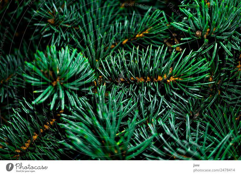 Tannige Tanne Pflanze Baum Grünpflanze Tannenzweig Tannennadel Wald dunkel glänzend Spitze stachelig gold grün Weihnachtsbaum Farbfoto Außenaufnahme