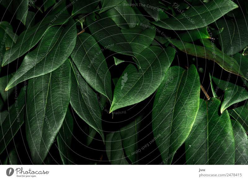 Ins Gebüsch Natur Pflanze grün Blatt dunkel glänzend Wachstum Sträucher Grünpflanze Hecke