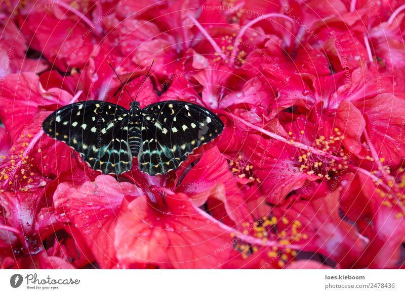 Black and white Butterfly sitting in Hibiskus blossoms Sommer Natur Pflanze exotisch Park Schmetterling gelb rosa butterfly Hibiscus flower antenna black insect