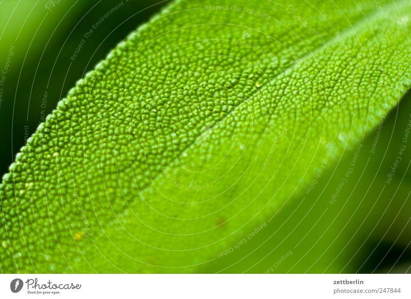 Salbei Pflanze Blume Blatt Blüte Wachstum Tee Kräuter & Gewürze Teepflanze Schrebergarten Blütenblatt Heilpflanzen Salbei Küchenkräuter Würzig Kräutergarten Kräutertee