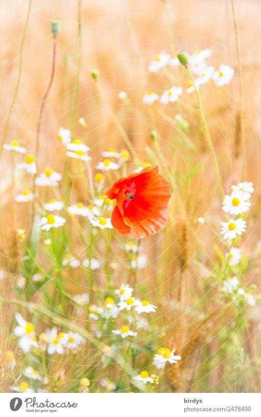 Mischkultur Pflanze Sommer Schönes Wetter Blume Nutzpflanze Mohnblüte Kamille Kamillenblüten Getreidefeld Feld Blühend Duft authentisch Freundlichkeit