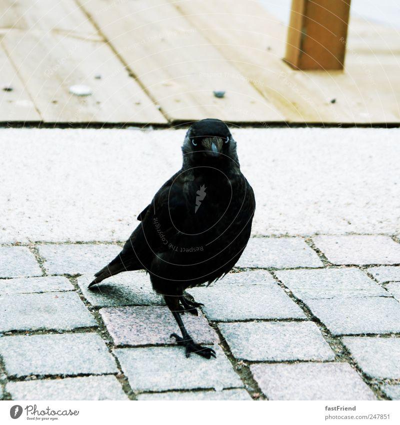 Ein Star ist geboren Seeufer Tier Vogel Krähe 1 Brunft Blick elegant Kraft Kopfsteinpflaster Holz schwarz Auge Farbfoto Gedeckte Farben Freisteller Schatten