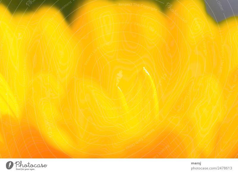 Spitz, und trotzdem butterweich Pflanze Frühling Blume Blüte Ringelblume Blütenblatt Spitze Blühend leuchten außergewöhnlich einfach elegant Zusammensein Kitsch