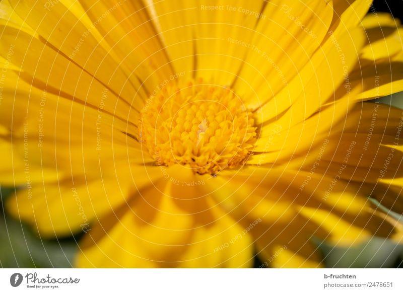 Gelbe Blume Pflanze schön Leben gelb Blüte orange Fröhlichkeit Freundlichkeit Pollen Blütenstempel