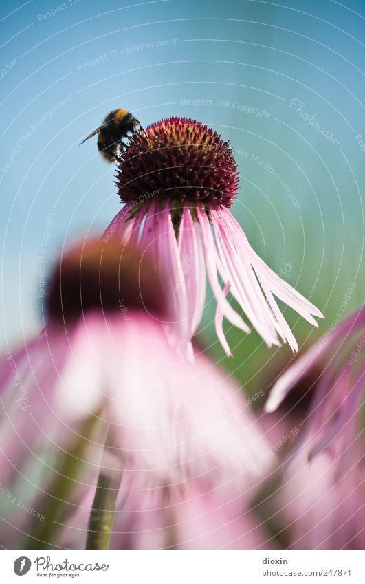 Echinacea purpurea N°3 Umwelt Natur Pflanze Tier Blume Blüte Roter Sonnenhut Heilpflanzen Flügel Hummel Insekt natürlich schön blau grün rosa violett Farbfoto