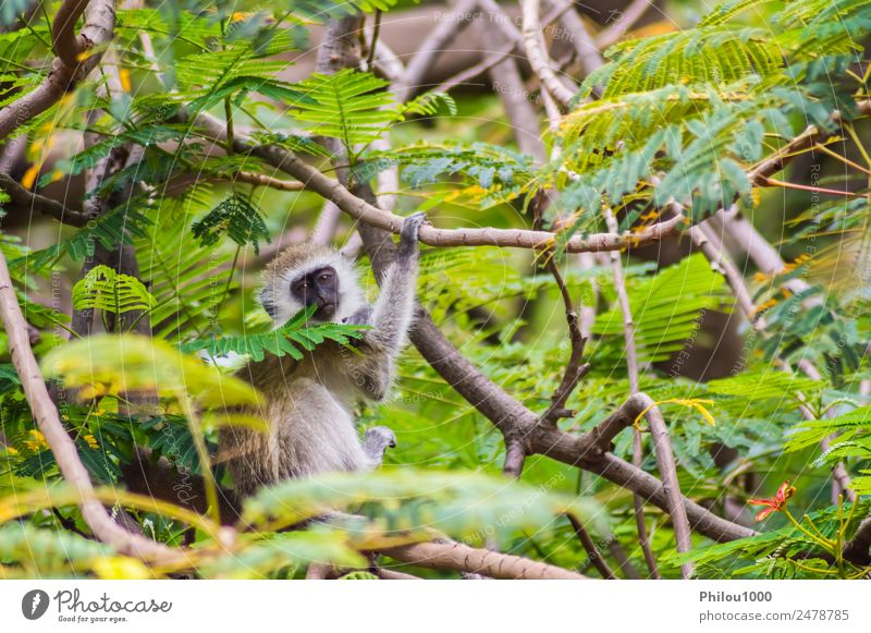 Grüne Affen sitzen an einer Wand in der Savanne. Tier Wald Afrika Amboseli Kenia afrikanisch Menschenaffen Hintergrund Meerkatzen Lebewesen anstarrend