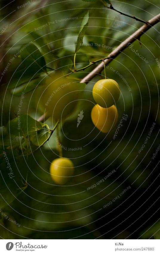 mit mir ist gut Kricken essen grün Pflanze Sommer gelb Wiese Umwelt natürlich Wachstum Kultur historisch hängen nachhaltig Pflaume Nutzpflanze Wildpflanze