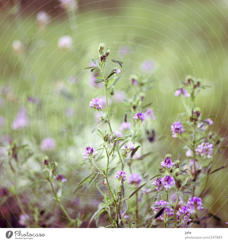wiese Umwelt Natur Pflanze Blume Grünpflanze Wildpflanze Wiese ästhetisch natürlich schön wild grün violett Farbfoto Außenaufnahme Menschenleer Tag