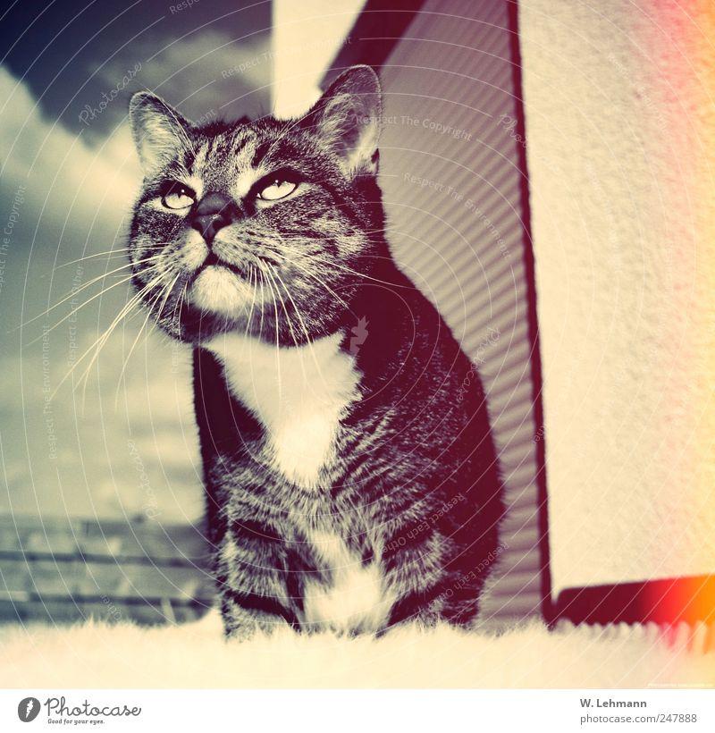 Ausblick Umwelt Tier Katze Fell 1 ästhetisch muskulös klug Kater Blick Farbfoto Schwarzweißfoto Außenaufnahme Menschenleer Morgen Unschärfe Tierporträt