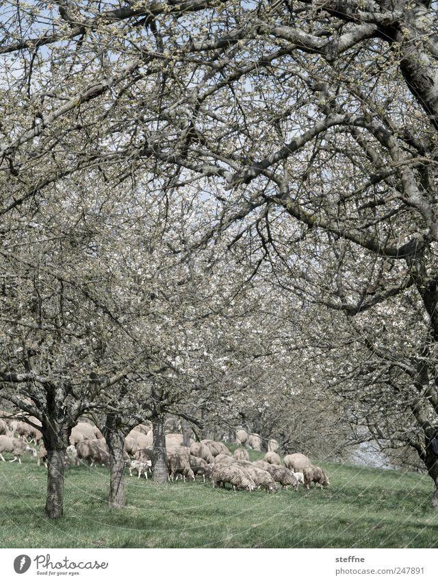 Schafherde von weiter weg Baum Wiese Frühling Blühend Schönes Wetter Fressen Herde Nutztier mäh