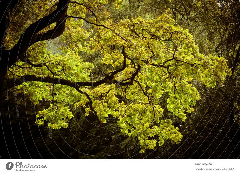 Geäst Natur grün Baum Pflanze gelb Herbst Ast Eiche Laubbaum Zweige u. Äste herbstlich Gelbstich