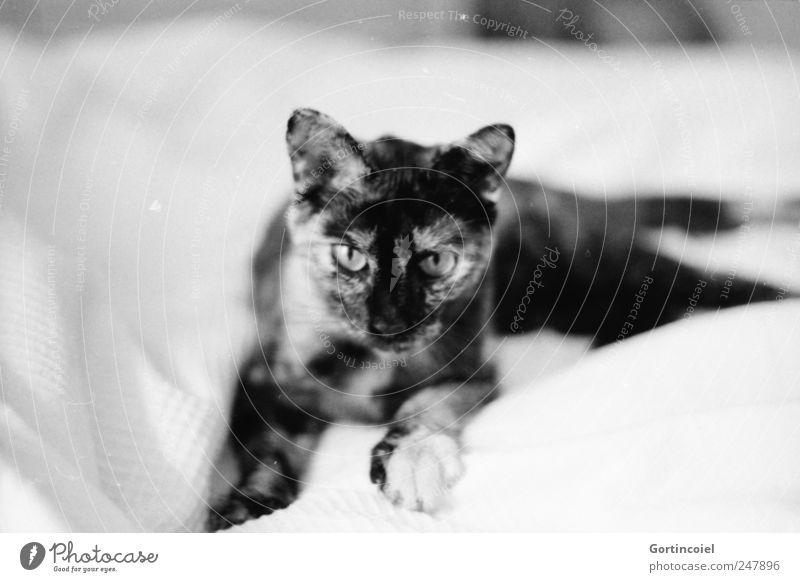 Jägerin Tier Haustier Katze Tiergesicht Fell Pfote 1 ruhig liegen Erholung Katzenkopf Katzenohr scheckig schildpatt Schwarzweißfoto Innenaufnahme