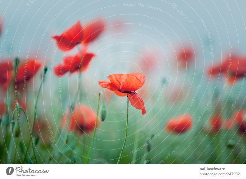 Mohnblumen Natur grün blau schön rot Pflanze Sommer Blume Blatt Wiese Umwelt Blüte Feld ästhetisch wild Idylle