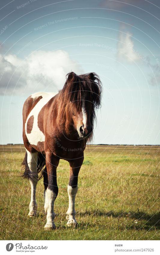 Haarmodel Sommer Umwelt Natur Landschaft Tier Himmel Klima Schönes Wetter Wiese Nutztier Wildtier Pferd 1 stehen Freundlichkeit lustig Weide Island Island Ponys