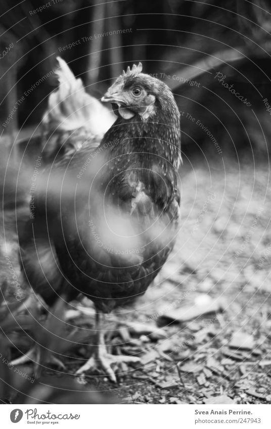 nun.huhn. Schönes Wetter Pflanze Nutztier Tiergesicht Fell Krallen Zoo Haushuhn 1 beobachten Interesse Neugier Schwarzweißfoto Außenaufnahme Tierporträt